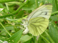 Green-veined white laying her eggs in our garden, July 06