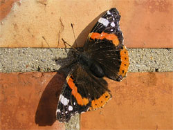 Red Admiral - 29 November 2006