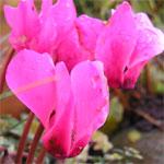 Cyclamen, in bloom in our garden 1 December 2006