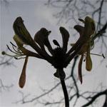 Honeysuckle, in bloom in our garden on 1 December 2006