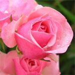 Rose, in bloom in our garden on 1 December 2006