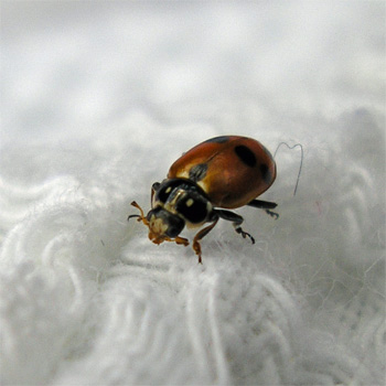 Adonis ladybird that landed on my left arm on 9 September 2006