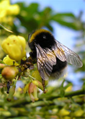 Worker Buff-tailed bumblebee on mahonia in front of our house,24.1.07