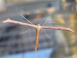 Emmelinamonodactyla