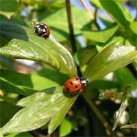 ladybirds26307-4b.jpg
