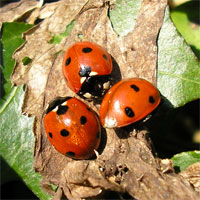 Ladybirds, ladybirds, Heslington 26.3.07