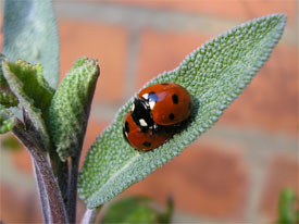 Mating 7-spot ladybirds in our garden