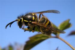 Queen wasp, 2 April2007