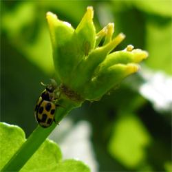 14-spot ladybird eating aphid, Bishopthorpe, 3 May07