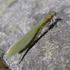 Damselfly at Gougane Barra, County Cork, May 2007