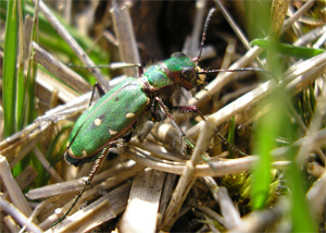 Green Tiger Beetle, Skipwith Common, April 07