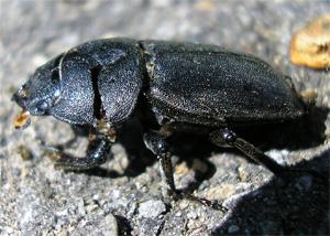 Lesser Stag Beetle, Heslington, 1 May07