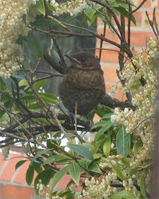 Newly fledged blackbird, 13 May 07