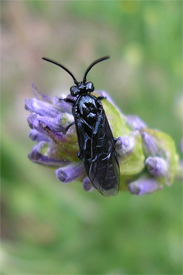 Sawfly in the garden, June 07