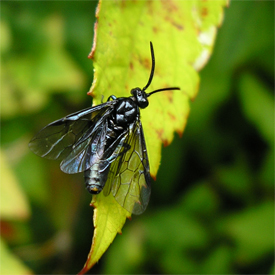Sawfly in the garden, June 2007