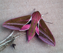 Elephant Hawkmoth at Archbishop of York's Junior School in Bishopthorpe, June 2007