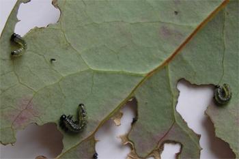Berberis sawfly larvae(22.7.07)