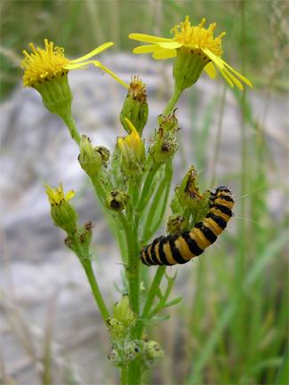 Cinnabar moth caterpillar, St Nick's nature reserve,11.8.07