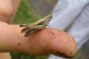 Grasshopper on John's finger, St Nick's,11.8.07