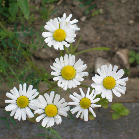 James' (aged 5) photo of chamomile flowers