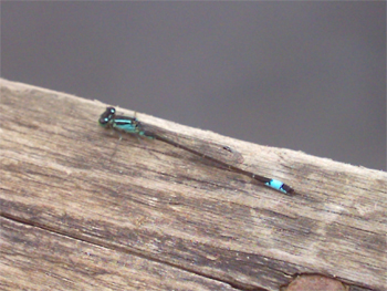 Robert's (aged 8) photo of a damselfly