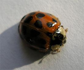 Harlequin ladybird, York,23.10.07