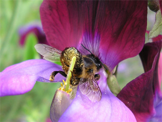 Leaf-cutter bee on our Sweet peas, July07
