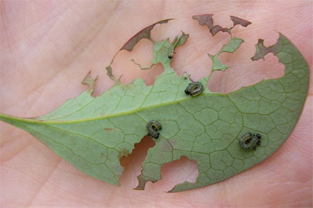 Berberis sawfly larvae, from theBigBuzz garden in York, 3 July 2008