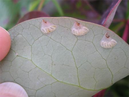 Eggs laid by Berberis sawfly on my Berberis bush in York