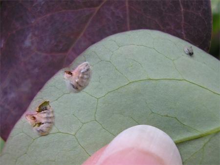 Berberis sawfly larvae hatching in my garden in York, England -28 June 2008