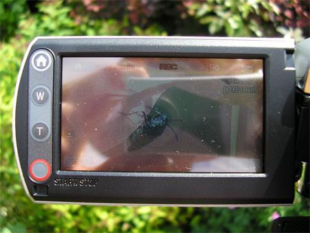Videoing Berberis sawfly egg-laying in my garden in York, 6 June 2008