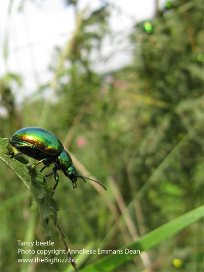 Tansy beetles (Chrysolina graminis) on Fulford Ings, York, August 2009. Photo copyright Anneliese Emmans Dean