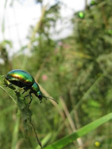Tansy beetles, unique to York. Photo copyright Anneliese Emmans Dean