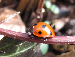 First ladybird of the year, 4 March 2010, by Anneliese Emmans Dean