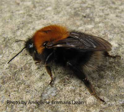 Bombus hypnorum (Tree bumblebee), York, March 2010, by Anneliese Emmans Dean