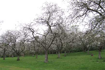 Colwall Orchard, Herefordshire