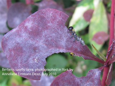 Berberis sawfly larva, photographed by Anneliese Emmans Dean, July 2010
