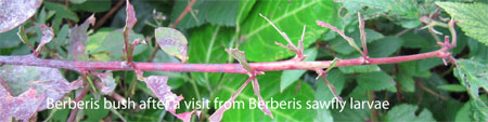 Berberis bush after a visit from Berberis sawfly larvae