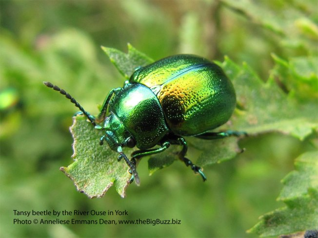 Tansy beetle in York. Photo © Anneliese Emmans Dean