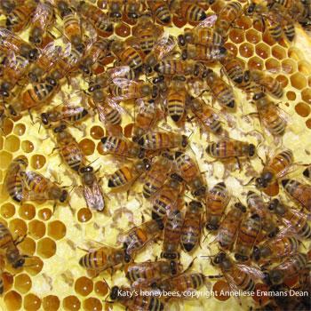 Katy's honeybees at work, York, 31.10.11