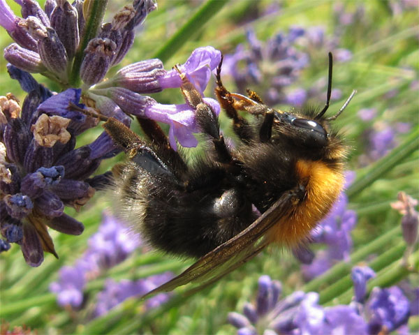 Tree bumblebee queen in my garden in York, 27 July 2012. Photo by Anneliese Emmans Dean, www.theBigBuzz.biz