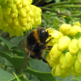 Queen Buff-tailed bumblebee feeding on Mahonia here in York, 29 October 2013