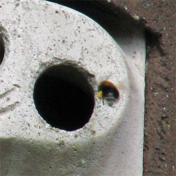 A Tree bumblebee laden with pollen going into our nestbox - now her nest!