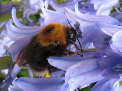 Tree Bumblebee in our garden, May 2014