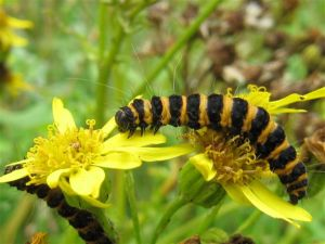 A Cinnabar moth caterpillar that features in my Buzzing! book and that I found and photographed at St Nicks, York