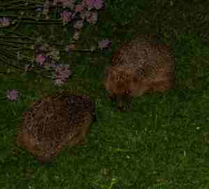 Courting Hedgehogs, 11 July 2014