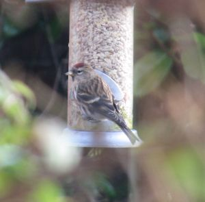 Lesser Redpoll on our sunflower seeds, 16 January 2015
