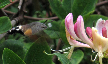 Hummingbird hawkmoth on our honeysuckle, 24 September 2014