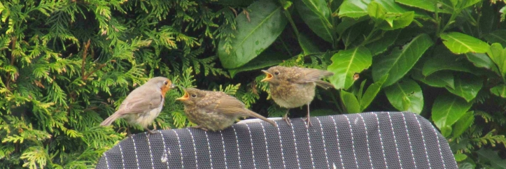 Baby robins being fed on my recliner, 7 June 2015