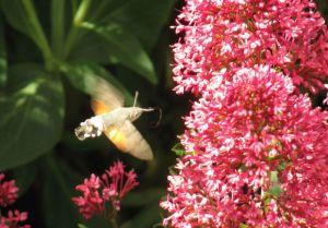 The nearest thing to a hummingbird that I'm going to see in my garden - a Hummingbird hawkmoth, 7 June 2015
